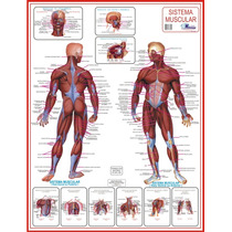 Mapa Sistema Muscular - Medicina Fisioterapia - Frete Grátis