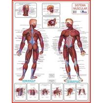 Mapa Do Sistema Muscular Gigante - 1,20 X 0,90m