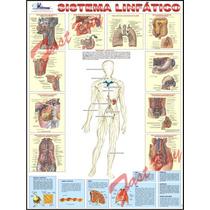 Mapa Gigante Sistema Linfático Humano - Anatomia Medicina