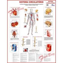 Mapa Sistema Circulatório Humano - Anatomia Medicina Escolar