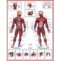Mapas Do Corpo Humano 120 X 90 Cm - 18 Mapas A Sua Escolha
