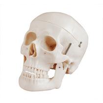 Crânio Tamanho Natural Anatômico 3 Partes Para Medicina