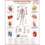 Mapa Do Sistema Circulatório Humano Medicina - Frete Grátis