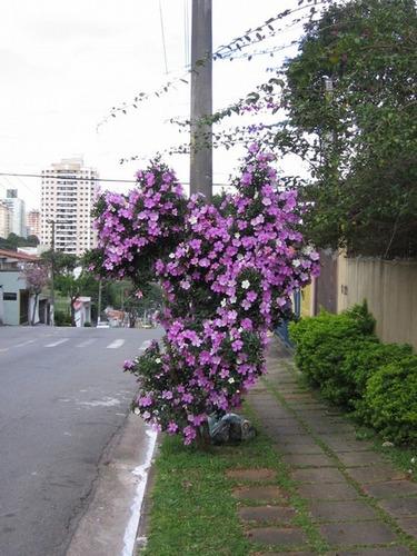 arvore manaca jardim:muda-de-manaca-an-manaca-da-serra-19021-MLB20165446831_092014-O.jpg