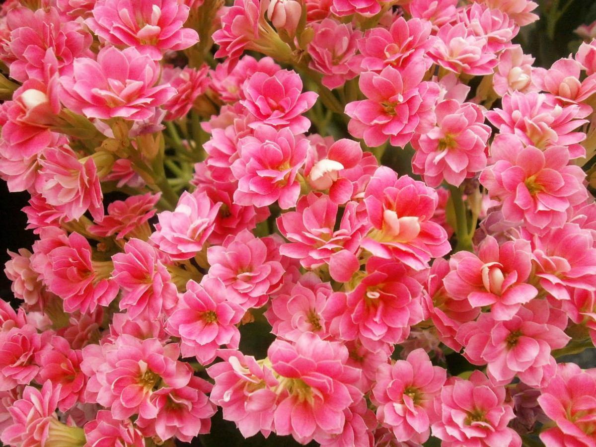plantas de jardim lista:Mudas De Calandiva – Planta Suculenta Flores Dobrada – R$ 20,00 no