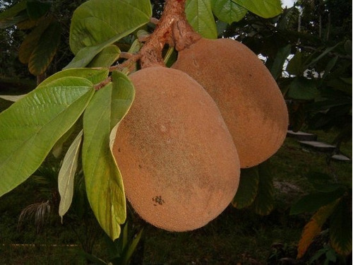 Mudas De Cupuaçu (theobroma Grandiflorum)