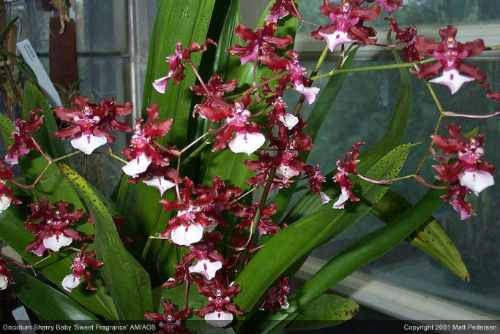 Orquídea Chocolate Adulta (oncidium Sharry Baby) Perfumadas
