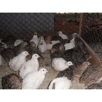 Ovos De Codornão Gigante Galados - Compre 12 Leve 15