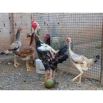 Indio Gigante Ovos Galados Reprodutores 1,06 A 1,12