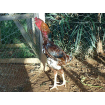 Indio Gigante (ovos Galados/ferteis) O Legitimo De Goiás