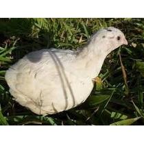 Ovos Galados Do Legitimo Codornão Gigante Branca