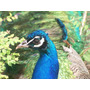 Ovos De Pavão Azul