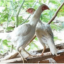 Ovos Galados De Índios Costeiros Brancos.