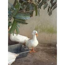 Ovos De Marrecos De Pequim E Pompom Branco