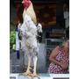 Ovos Galados/galinha Indio Gigante
