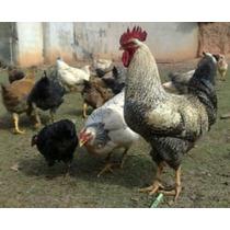 Ovos Galados De Galinha Caipira Compre 12 Leve 15