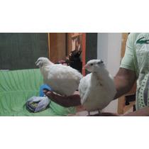Ovos Galados De Codornão (codornas Gigante)