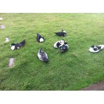 Pato Gigante - Ovos Galados E Filhotes