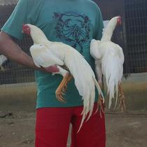 Ovos Galados De Raça De Galo Índio Asil Com Tailandês Puros