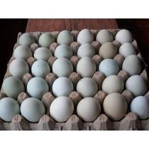 Ovos De Grandes Campeões De Galos Indios