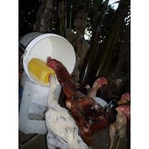 Ovos Galados Da Raça Indio Gigante-genética Mineira