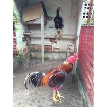 Ovos Galados De Shamo. Apenas Aves Selecionadas