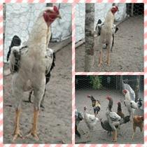 Ovos Indio Gigante (ovos Galados/ferteis) Duzia De 14 Ovos
