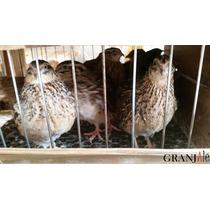 Ovos Galados Codorna Gigante (codornão). Pague 12 Leve 15