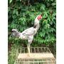 Indio Gigante Duzia De 15 Ovos Da Melhor Genetica