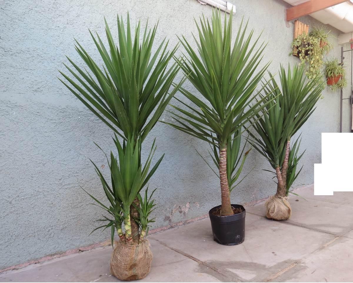 Palmeira yucca iuca r 95 00 no mercadolivre for Yuca planta de exterior