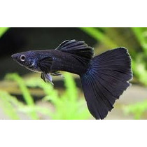 Guppy Full Black Lebiste