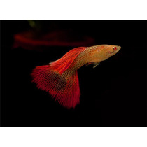 Guppy Red Lace Snakeskin Albino-frete Gratis