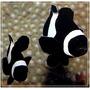 Peixe Palhaço Amphiprion Ocellaris Black 4 A 5 Cm Promoção!