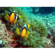 Peixe Palhaço Clarkii 2 A 3 Cm - Lote Com 4 Peixes (nemo)