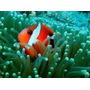 Peixe Palhaço Tomato Médio 3 A 4 Cm - Amphiprion Frenatus