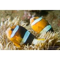 Peixe Palhaço Clarkii Pq - Lote Com 10 Peixes (atacado)