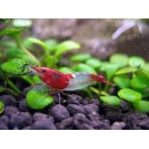 Camarão Red Rilli - Neocaridina Heteropoda Var. Rili