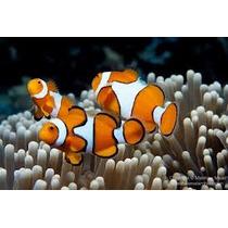 Lote Com 4 Peixes Palhaço Ocellaris Pq (nemo) Preço Atacado