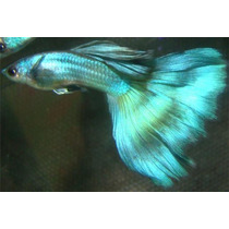 ### Guppy Show Moscow Blue ###