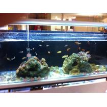 Peixe Palhaço Ocellaris 3cm