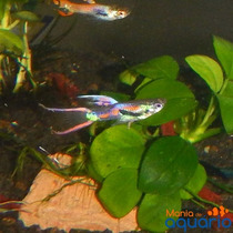 Casal Guppy Endler Double Sword (criado)