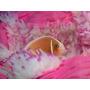 Peixe Palhaço Pink Skank - Marinho - Nemo - Acima De 5 Cm