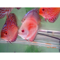 Acará Disco Red Mellon White Face 6 A 7 Cm Doctor Discus