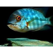 Peixe Papagaio Verdeareiro Hoplarchus Psittacus 12 Cm R$ 249