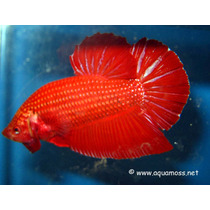 Betta Plakat Macho