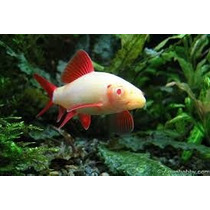 Peixe Labeo Frenatus Albino
