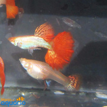 Casal Guppy Dragon Albino Red Tail (criado)