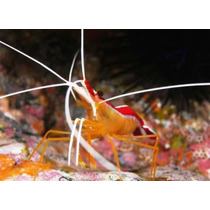 Camarão Marinho Cleaner Shrimp Lysmata Grabhami