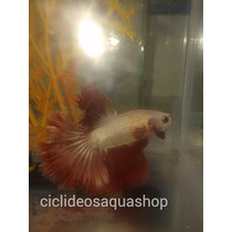 Betta Macho Dragon - Ultimas Unid - Embalagem Termica Gratis