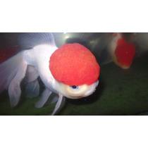 Kinguio Oranda Red Cap Gigante Com 18 Cm
